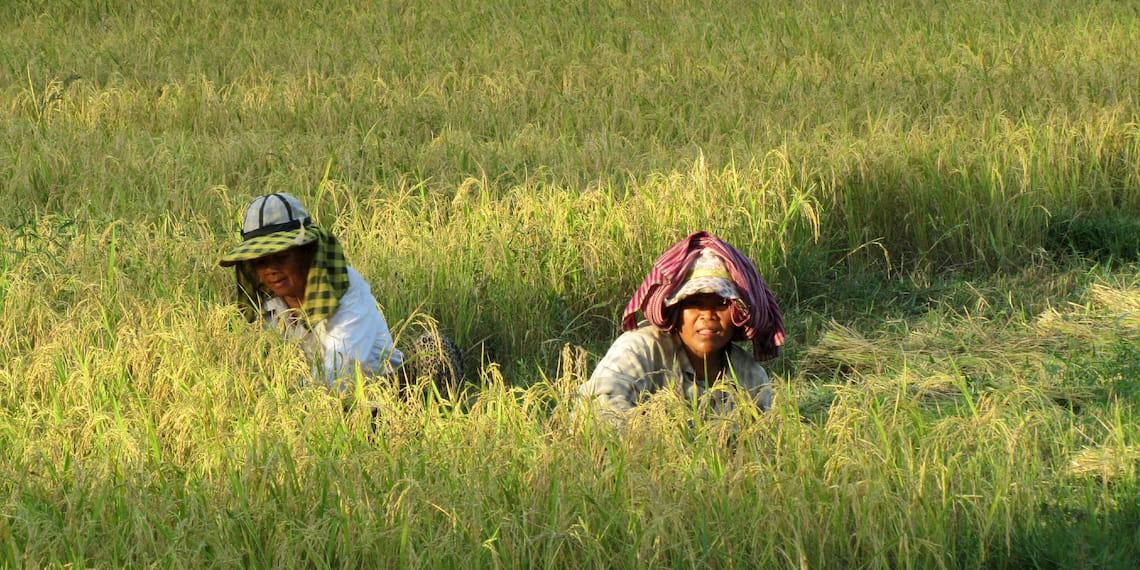 Rice fields of cambodia