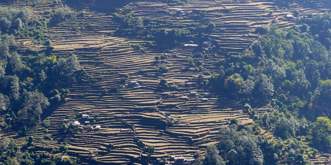 rice field in himalayan