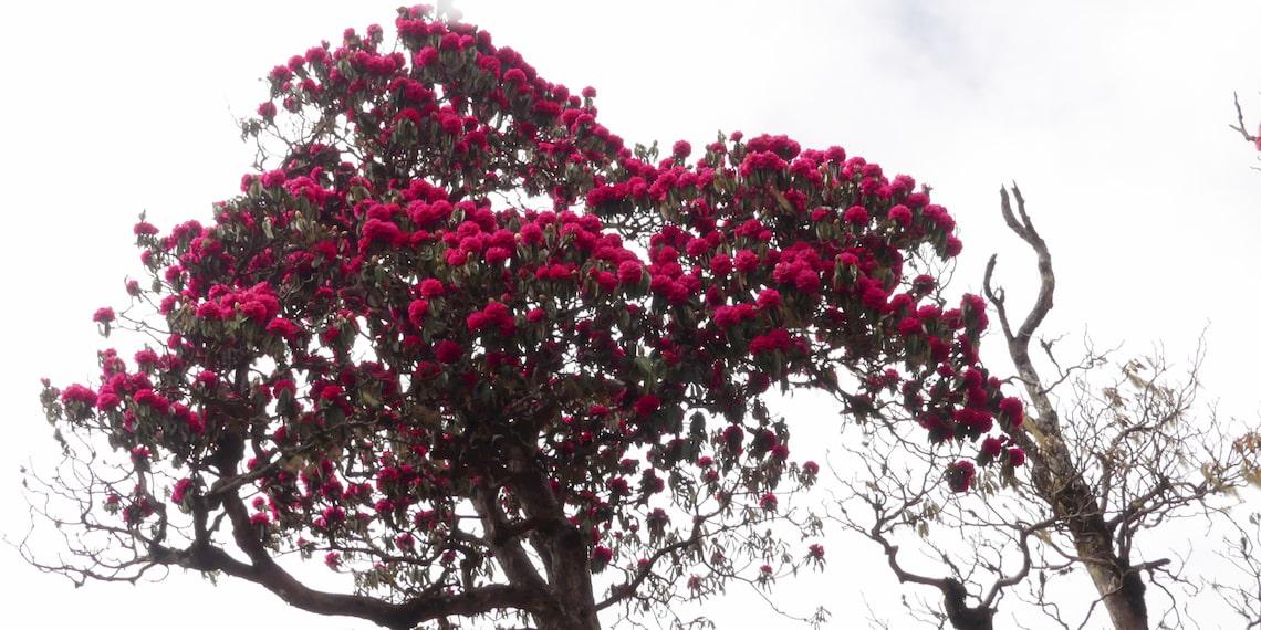flowers of nepal