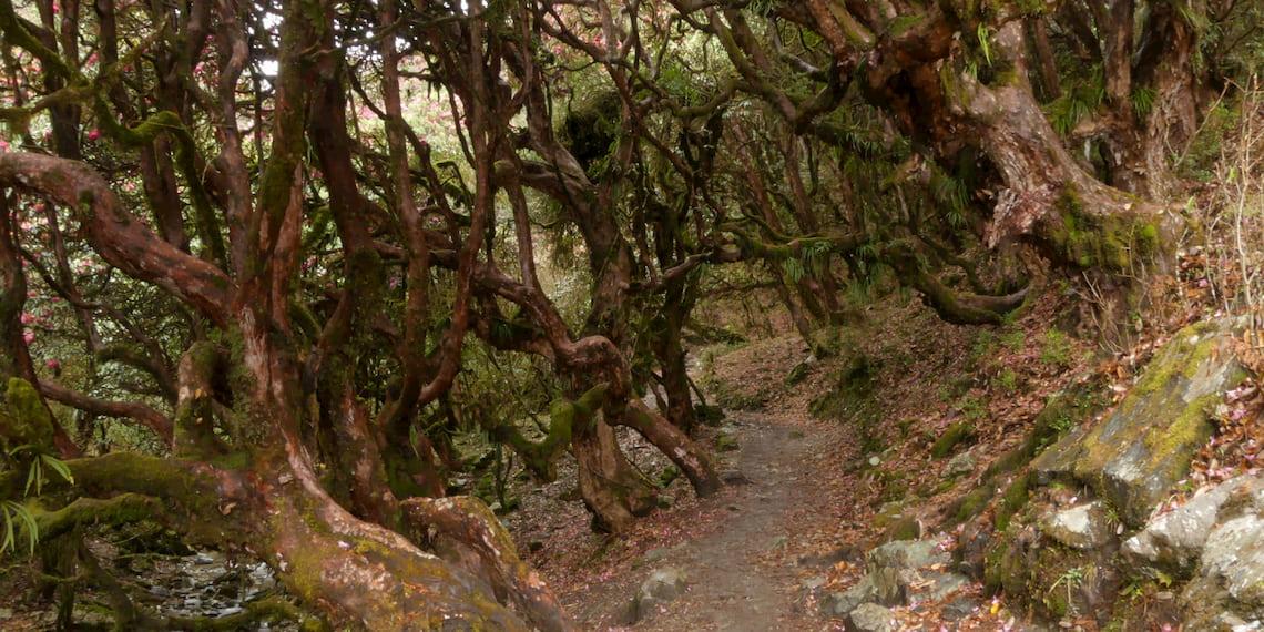 forest around poon hill