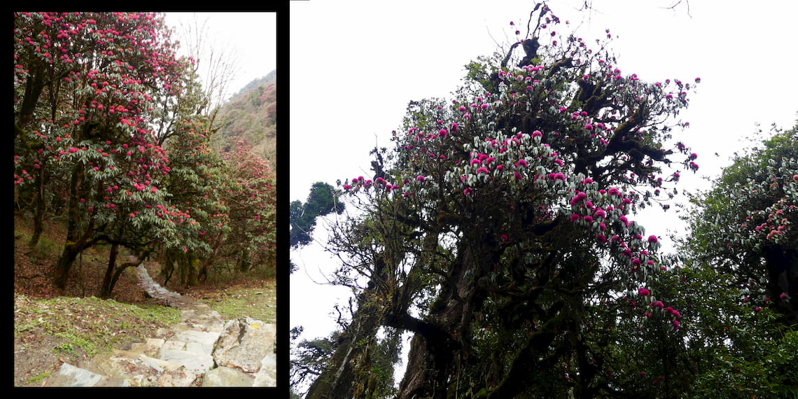 tree of rhododendrons
