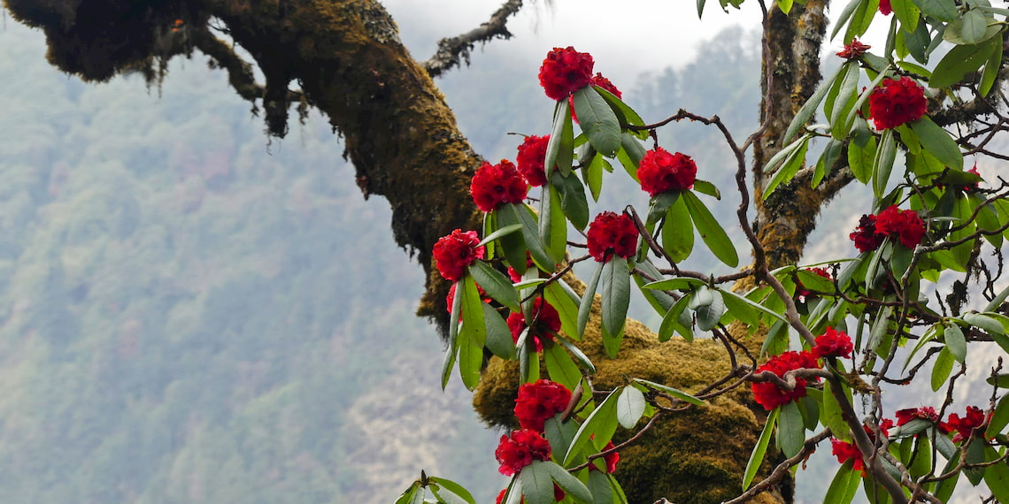 flowers of rhododendrons