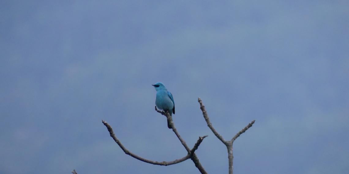 The blue bird of Nepal