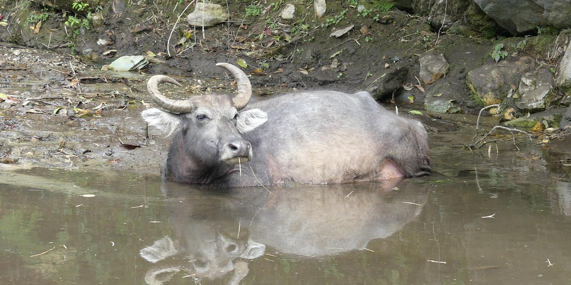buffalo in the mud